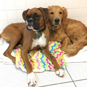 Two dogs named Foster and Finnley sharing a blanket
