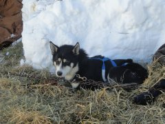 A black and white Husky sitting in the straw and snow