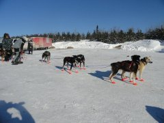 A group of sled dogs getting tethered up
