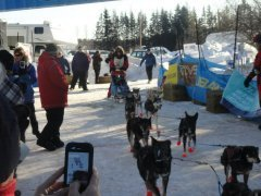 A group of sled dogs tethered up with spectators looking on