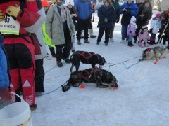 Two of the sled dogs tethered up with spectators looking on