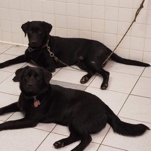 Two black dogs named Lochlan and Beni laying on the ground