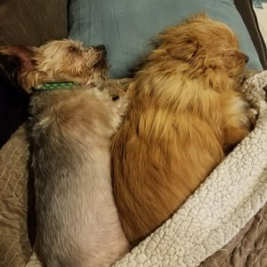 Two small brown dogs named Olive and Dobby snuggling on the couch